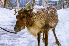 Akita Japan Zoo photography in snow. stock photography