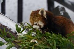 Akita Japan Zoo photography in snow. Royalty Free Stock Photo