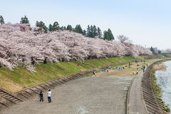 Akita, Japon - avril 27,2014 : Sakura en rive de Kikonai Photo stock