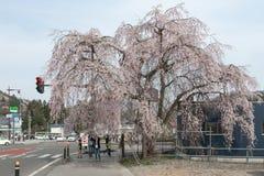 Akita Japonia, Kwiecień, - 27,2014: Sakura w Kikonai brzeg rzeki Zdjęcie Royalty Free