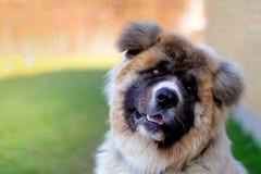 Akita pies robi ślicznej pozie obrazy royalty free
