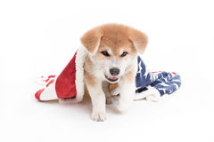 Akita jest prześladowanym szczeniaka w białym studiu z koc Zdjęcie Royalty Free