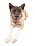 Akita laying down Stock Image