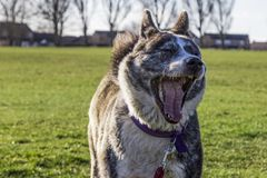 Akita with mouth wide yawning. With eyes closed and teeth and tongue exposed Stock Images