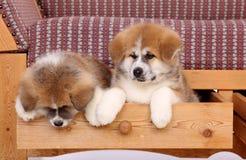 Akita pets stock image