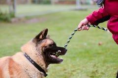 Akita pies bawić się z holownik zabawką Zdjęcia Stock