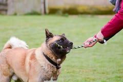 Akita pies bawić się z holownik zabawką Obraz Stock