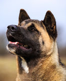 Akita portrait Royalty Free Stock Photo