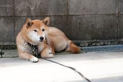 Akita psa czekanie przy ścianą Zdjęcia Stock