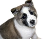 Akita Pupppy Royalty Free Stock Photos