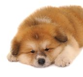 Akita puppy Royalty Free Stock Photo