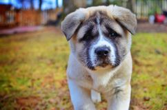 Akita Puppy. 8 week old friendly Akita playing in my friends back yard exploring the world Stock Photography