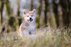 Akita puppy. Cute puppy in spring time Stock Images