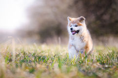 Akita puppy. Cute puppy in spring time Royalty Free Stock Photo