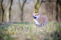 Akita puppy. Cute puppy in spring time Royalty Free Stock Photography