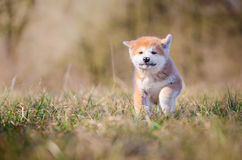 Akita puppy. Cute puppy in spring time Stock Photography