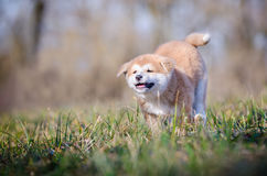 Akita puppy. Cute puppy in spring time Stock Photos