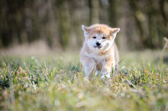 Akita puppy. Cute puppy in spring time Stock Image