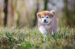 Akita puppy. Cute puppy in spring time Royalty Free Stock Image