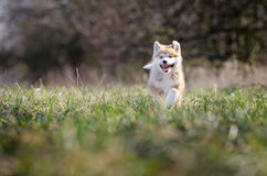 Akita puppy. Cute puppy in spring time Royalty Free Stock Photos