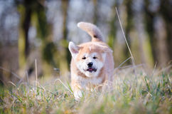 Akita puppy. Cute puppy in spring time Stock Photo
