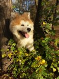 Akita puppy fluffy bear forest. Awesome baby akita Royalty Free Stock Photo