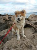 Akita puppy fluffy bear sea Stock Photography