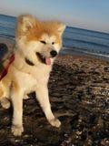 Akita puppy fluffy bear sea stock images