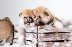 Akita puppy. Akita inu puppies at home Stock Images