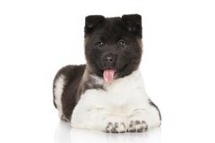 Akita puppy on white background Stock Photos