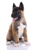Akita purebred puppy Royalty Free Stock Photography