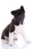 Akita purebred puppy Stock Photos