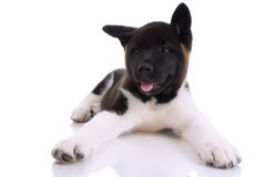 Akita purebred puppy Stock Image