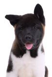 Akita purebred puppy stock photo