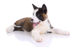 Akita purebred puppy Stock Images