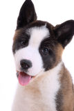 Akita purebred puppy Royalty Free Stock Image