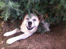 Akita que sorri nos arbustos Foto de Stock