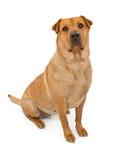 Akita and Shar-Pei Mix Dog Royalty Free Stock Photo