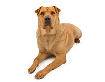 Akita and Shar Pei Mix Dog Laying Down Stock Photography