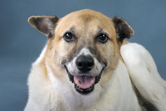 Akita Shepard Dog Mix. Royalty Free Stock Photos