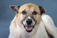 Akita Shepard Dog Mix. Royalty Free Stock Photos