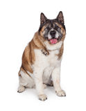Akita Sitting Over White Background pelucheuse Photographie stock libre de droits