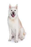 Akita Sitting Over White Background Royalty Free Stock Photo
