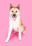 Akita Sitting While Panting Over Pink Background Royalty Free Stock Photos