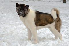 Akita in snow. Akita walks in the snow park stock images