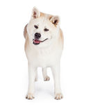 Akita Standing Isolated Over White Background Royalty Free Stock Images