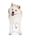 Akita Standing Isolated Over White bakgrund Royaltyfria Bilder