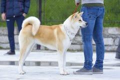 akita tła zakończenia psa inu portret w górę biel Zdjęcie Stock