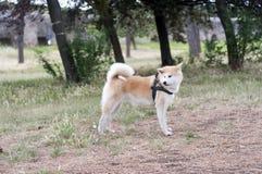 akita tła zakończenia psa inu portret w górę biel Obraz Royalty Free