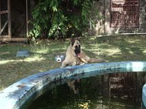 An akita beside a tropical fish pond. A canine pet relaxing in a garden in the caribbean stock video
